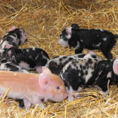 Piglets South Farm Royston