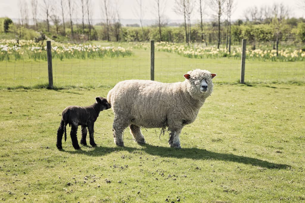 Lamb and sheep on the far,