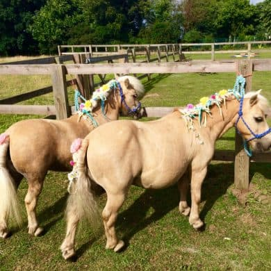 Pony Shetland South Farm